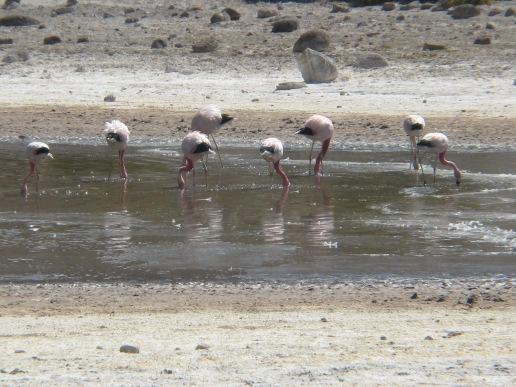 15-atacama-flamingos