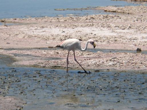16-atacama-flamingos
