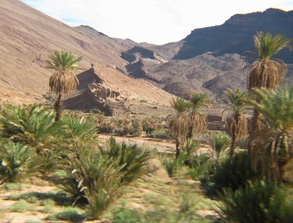 36 Desert palms