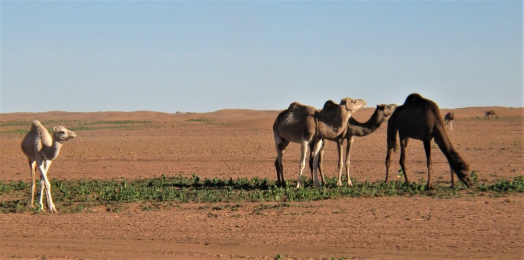40 Desert 6 camels